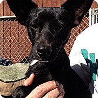 Terrier (Unknown Type, Small)/Jack Russell Terrier Mix Dog for adoption in Sun Valley, California - Marty