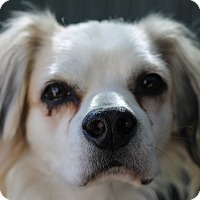 Adopt A Pet :: Shelby - Los Angeles, CA
