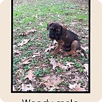 Adopt A Pet :: Woody - Plainfield, CT