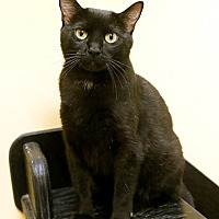 Domestic Shorthair Cat for adoption in Overland Park, Kansas - Lizzy