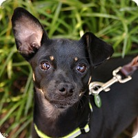 Rat Terrier Mix Dog for adoption in Portland, Oregon - Mikey