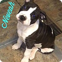 Boston Terrier/Pit Bull Terrier Mix Puppy for adoption in Vass, North Carolina - Neveah