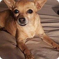 Chihuahua Mix Dog for adoption in Snyder, Texas - Clover