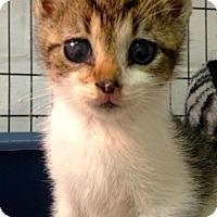 Adopt A Pet :: Sybil - River Edge, NJ