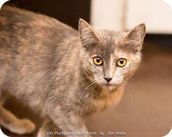 Domestic Shorthair Cat for adoption in Scottsdale, Arizona - Abbey