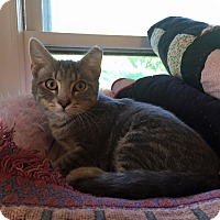 Domestic Shorthair Cat for adoption in Burlington, North Carolina - HANNAH