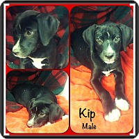 Adopt A Pet :: Kip IN CT - Manchester, CT