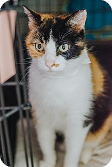 Domestic Shorthair Cat for adoption in Indianapolis, Indiana - Mocha Maui