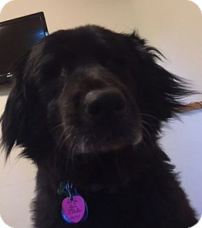 Flat-Coated Retriever Mix Dog for adoption in Seymour, Connecticut - Hanna:SWEET companion (TN)