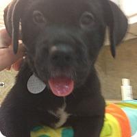 Adopt A Pet :: Barron - Knoxville, TN