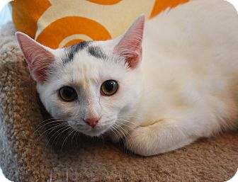 Domestic Shorthair Cat for adoption in Bristol, Connecticut - Blaze & Bo