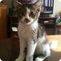 Domestic Shorthair Kitten for adoption in McHenry, Illinois - Sprite