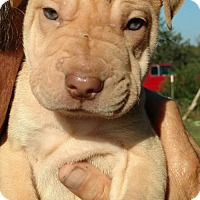 Shar Pei Mix Dog for adoption in Von Ormy, Texas - Donatello