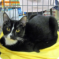 Domestic Shorthair Cat for adoption in Overland Park, Kansas - Billy