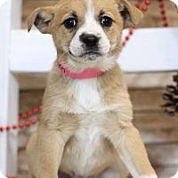 Adopt A Pet :: Vixen - Waldorf, MD