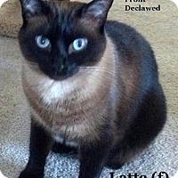 Adopt A Pet :: Latte - Bentonville, AR