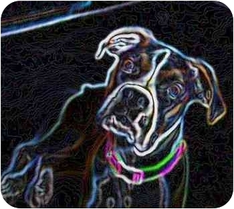 Boxer Mix Dog for adoption in Navarre, Florida - All Available Boxers