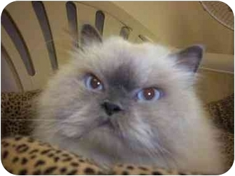 Himalayan Cat for adoption in Oakland Park, Florida - Jaco