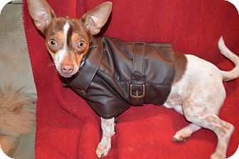 Chihuahua/Rat Terrier Mix Dog for adoption in Weeki Wachee, Florida - Chucky