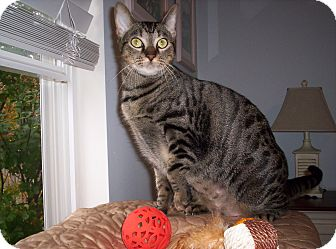 Domestic Shorthair Cat for adoption in Pineville, North Carolina - Scarlett