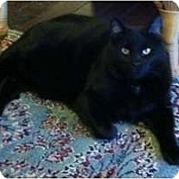 Adopt A Pet :: Blackster - Lenexa, KS