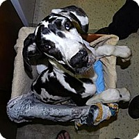 Adopt A Pet :: Suri - Pearl River, NY