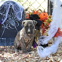 Adopt A Pet :: Louisa - Charlemont, MA