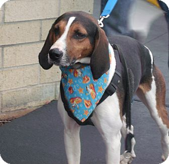 Treeing Walker Coonhound Mix Dog for adoption in Somerset, Kentucky - Turbo
