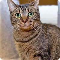 Domestic Shorthair Cat for adoption in Brooklyn, New York - Terrific Tessie--Look at Those Eyes!