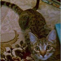 Photo 2 - Domestic Shorthair Kitten for adoption in Trexlertown, Pennsylvania - Tillie- New pictures!