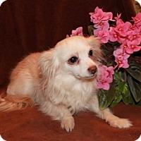Adopt A Pet :: Shirley - Salem, NH