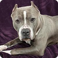 Adopt A Pet :: Boogaloo - Bellevue, WA