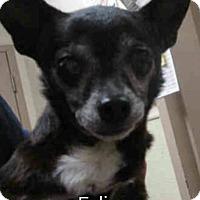 Adopt A Pet :: Felipe - Encinitas (San Diego), CA