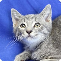 Domestic Shorthair Kitten for adoption in Winston-Salem, North Carolina - Silver
