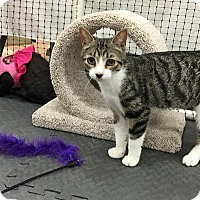 Domestic Shorthair Cat for adoption in Alexandria, Virginia - Ms. Meowski