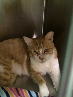 Domestic Shorthair Cat for adoption in Richboro, Pennsylvania - Horace