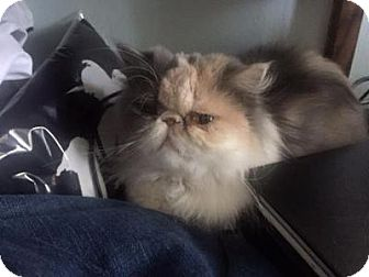 Persian Cat for adoption in Beverly Hills, California - Mia