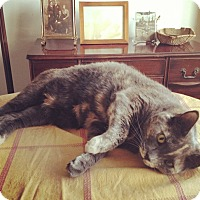 American Curl Cat for adoption in Brooklyn, New York - Cleopatra*