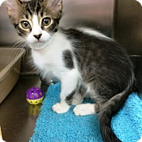 Domestic Mediumhair Kitten for adoption in Lake Elsinore, California - Saran