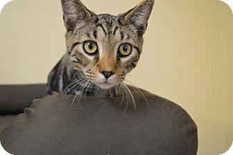 Domestic Mediumhair Cat for adoption in Washington, D.C. - Kovu