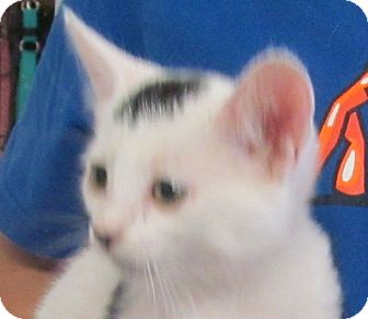 Domestic Shorthair Kitten for adoption in Silver City, New Mexico - Gremlin