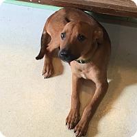 Shepherd (Unknown Type)/Labrador Retriever Mix Puppy for adoption in House Springs, Missouri - Winston