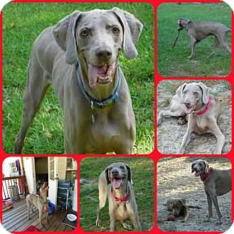 Weimaraner Dog for adoption in Inverness, Florida - Bedford