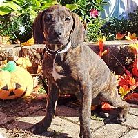 Adopt A Pet :: Drusi - West Chicago, IL