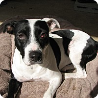 Pointer/American Bulldog Mix Dog for adoption in Bowie, Maryland - Missy