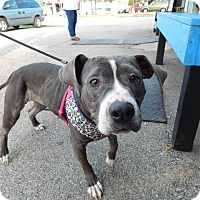 Pit Bull Terrier Mix Dog for adoption in Lafayette, Indiana - Miya