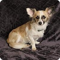 Adopt A Pet :: Zorro - Yucaipa, CA