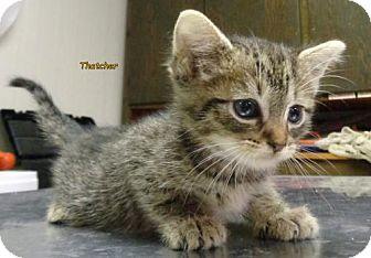 Domestic Shorthair Kitten for adoption in Oskaloosa, Iowa - Thatcher