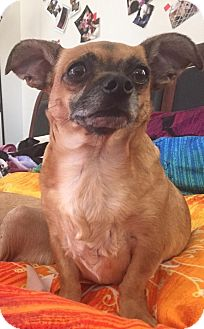 Chihuahua/Pug Mix Dog for adoption in Encino, California - Nick