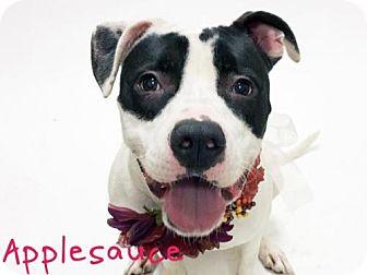 Pit Bull Terrier Mix Dog for adoption in Sacramento, California - *APPLESAUCE